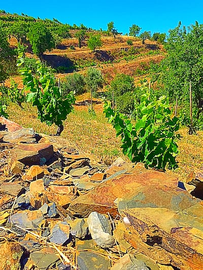 Carignan (Mazuelo) Wine Grapes Growing in Priorat, Spain | Winetraveler.com