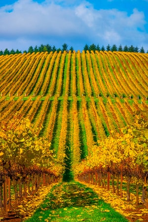 Vineyard views in Willamette Valley during Autumn | Winetraveler.com